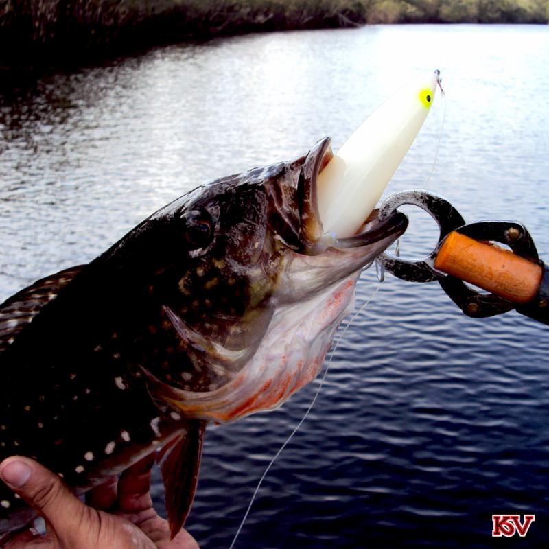 A isca Discovery Pencil foi usada para pescar esse Tucunaré Paca.